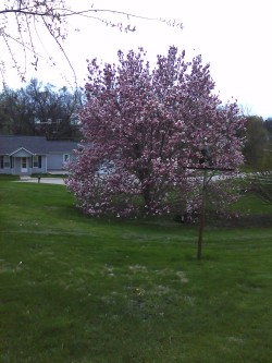 The magnolia tree